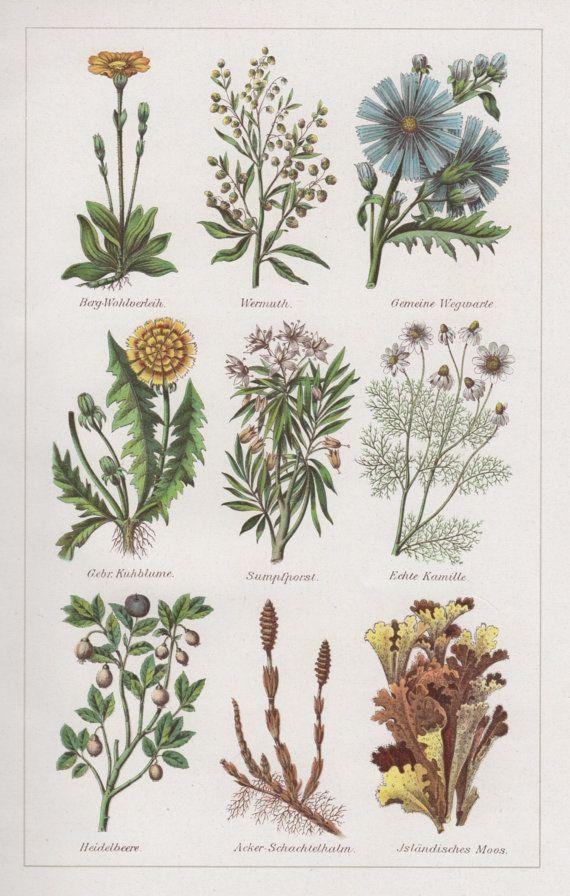 1920's Medicinal Plants Antique Botanical Print by Craftissimo