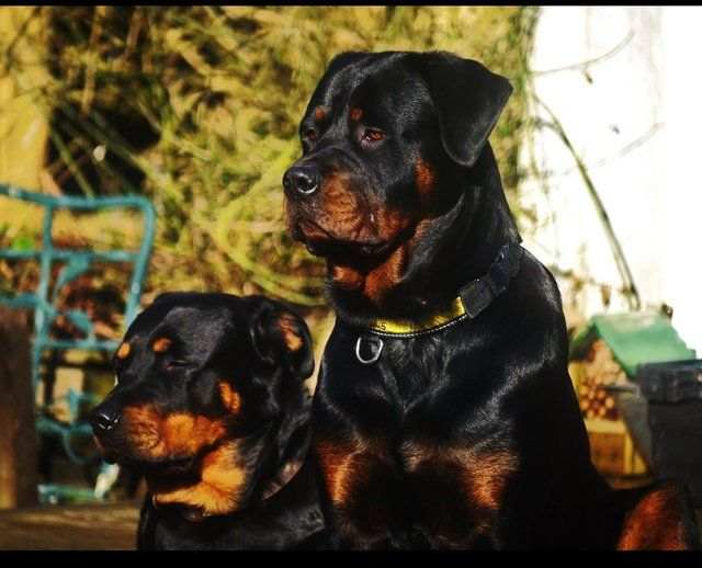 Image Result For Chunky Rottweiler Rottweiler Dog Big Dog Breeds Dog Breeds