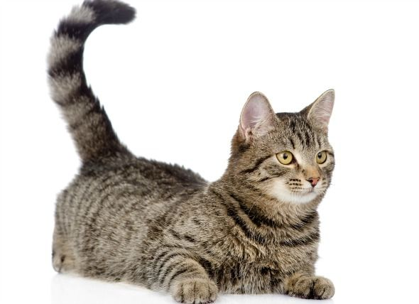 Cat Facts: What Does it Mean When a Cat Wags It's Tail? | petMD