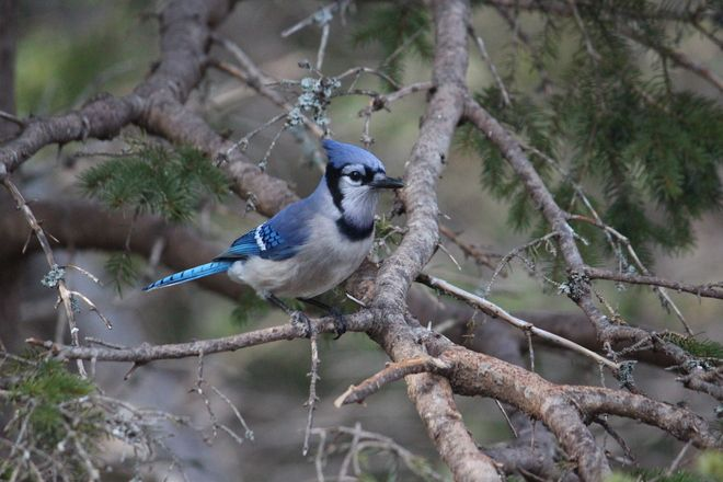 Bluejay  Posted by: Jennifer Power  Portugal Cove-St. Philip's, Newfoundland and…