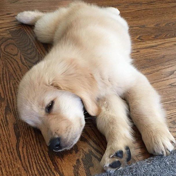wake up and stretchhhh #welovegoldens by goldenretrievers_