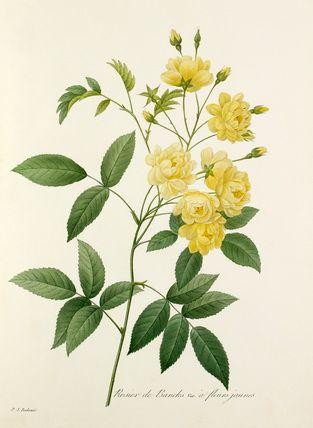 Pierre Joseph Redouté -- Rosier de Bancks Var. à fleurs jaunes -- Rose -- View By Flower -- RHS Prints
