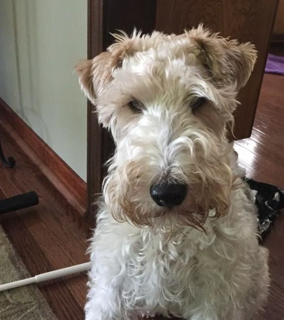 Harvey the wire fox terrier.