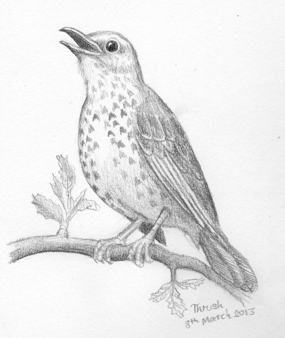 Sketch of a Thrush Bird drawing  original by TheKestrelAndTheSea, £24.00