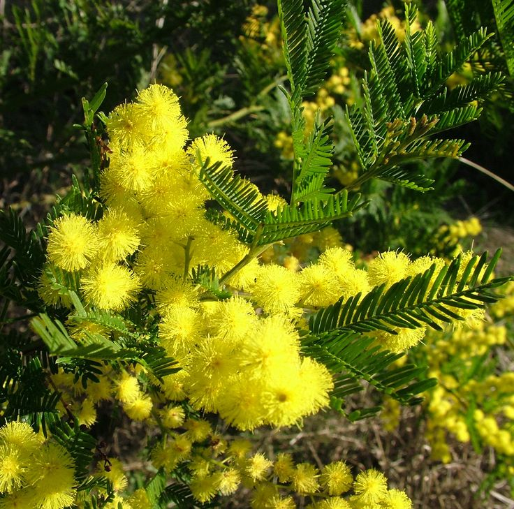 Acacia decurrens (Black wattle) is a large tree with ferny leaves and sprays of golden flower heads in spring. It is frost and drought hardy, very fast growing and suited to farm plantings, woodlots and windbreaks. It grows naturally in open forests from the Hunter Valley in NSW to the ACT. It may naturalise in good conditions.