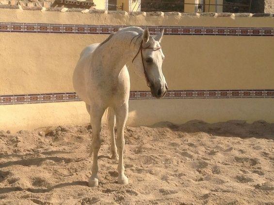 Potros pura raza árabe en venta en Castilla-La Mancha HE40687D4