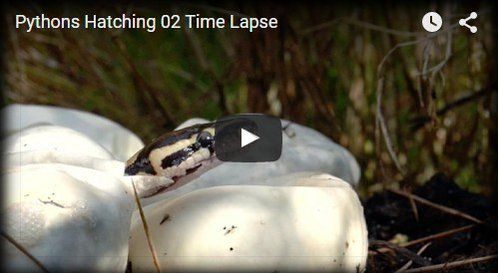 Pythons Hatching http://beautifulplace4travel.blogspot.kr/2015/11/pythons-hatching.html
