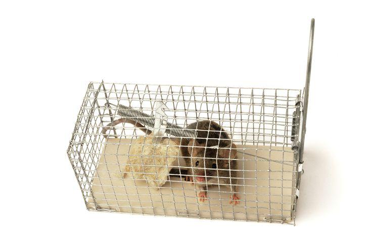 16 Best Rat Catcher Quebec 514 Montreal 1 4383941008
