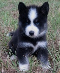 The Huskimo is not a purebred dog. It is a cross between the Siberian Husky and the American Eskimo.