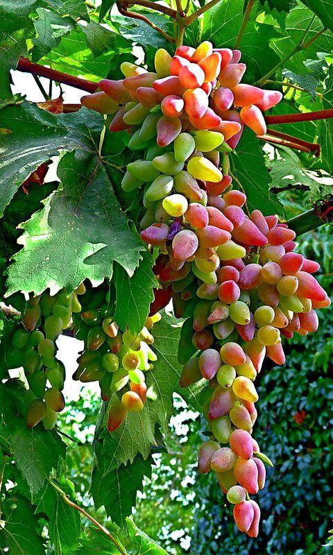 "Grapes www.LiquorList.com ""The Marketplace for Adults with Taste"" @LiquorListcom #LiquorList"