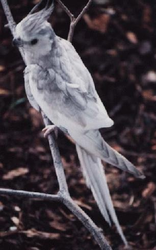 The Dominant Silver-Whiteface Cockatiel
