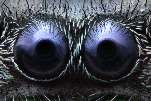 Oczy pająka (powiększenie 20x), fot. Noah Fram-Schwartz