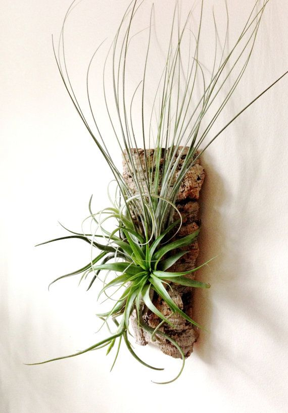 Wall Garden Air Plants on Sustainable Virgin Cork