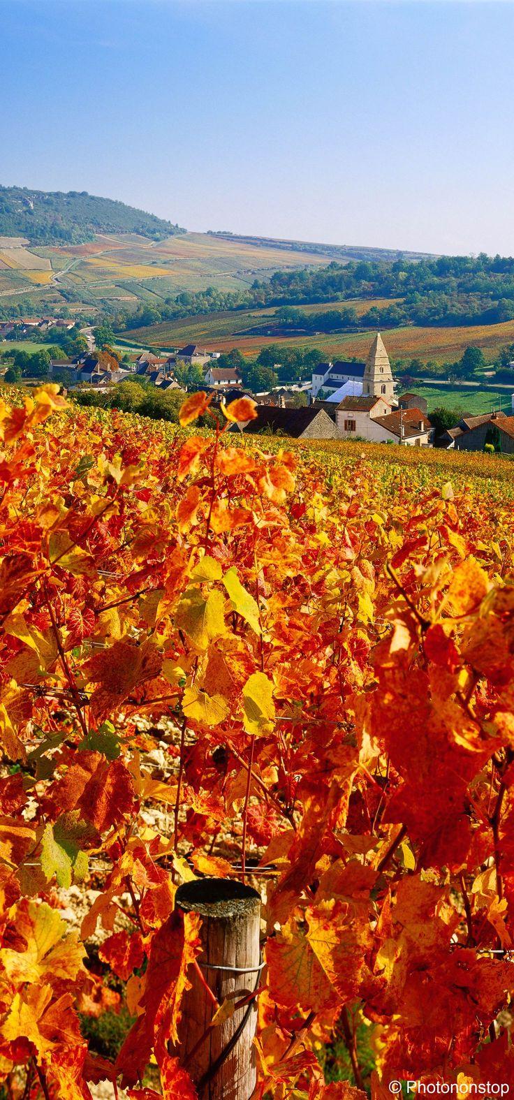 Côtes-d'Or : Vignes à côté du village de St Aubin.