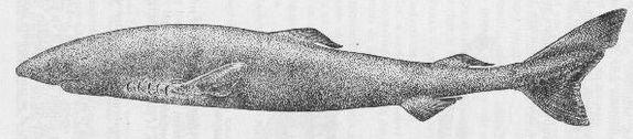 Greenland shark (circa 1947 – H. Dupond)
