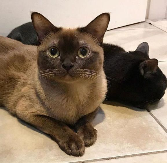 Cat Breeds That Are Great For People Over 50 6 Burmese Burmese