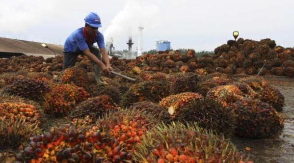 Sebagai produsen minyak sawit pertama dan kedua di dunia, masing-masing Indonesia dan Malaysia terus meningkatkan daya saingnya di pasar global. Menyusul aksi Malaysia memangkas pajak ekspor minyak sawit mentah (crude palm oil/CPO) ke level nol selama dua bulan, Indonesia juga dikatakan akan mengambil langkah serupa. Mengutip laman Borneo Post, Sabtu (27/9/2014),Indonesia dilaporkan akan memangkas pajak ekspor minyak sawitnya