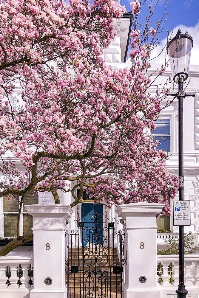 Where To See Magnolia And Cherry Blossom In London Printable Guide And Map Beautiful Places London Magnolia
