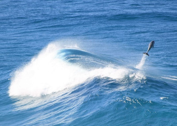 Dolphins seen from the cliff-tops at Point Lookout North Stradbroke Island Queensland Australia