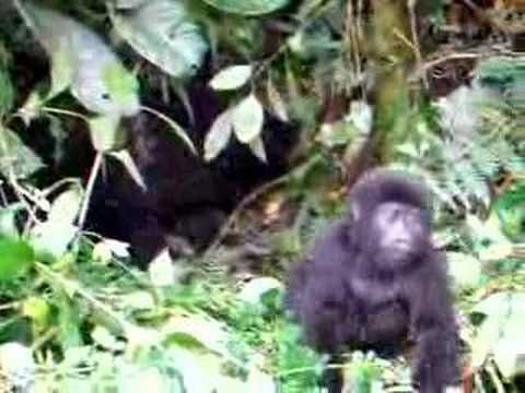 A Baby Gorilla Repeatedly Falls Down From the Sheer Effort of Trying to Pound His Chest