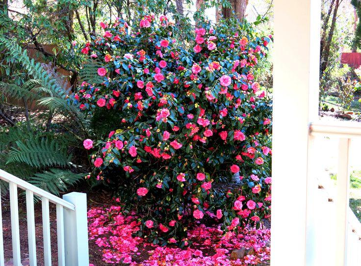 Camellia Show, at Brantwood Cottage, Blackheath NSW