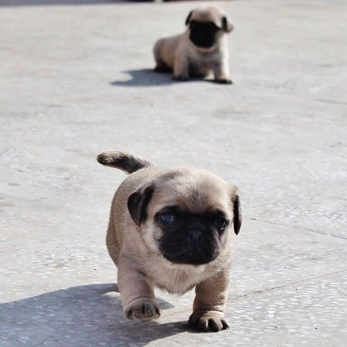 Fat little baby pug is on a mission