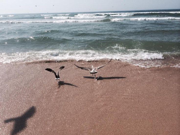 gaivotas em terra....Praia da Tocha 2015