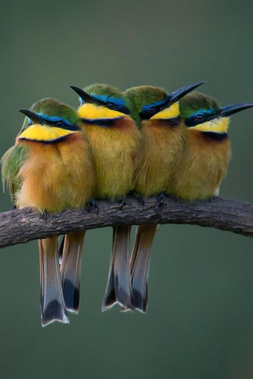 Bee Eaters - Two pairs | By Kirill Trubitsyn