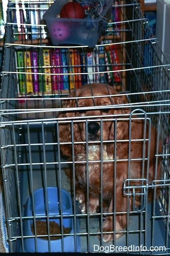 A Cocker Spaniel is sitting in a closed dog crate. There is a food bowl in front of it. There is also a small bin of toys on top of the cage