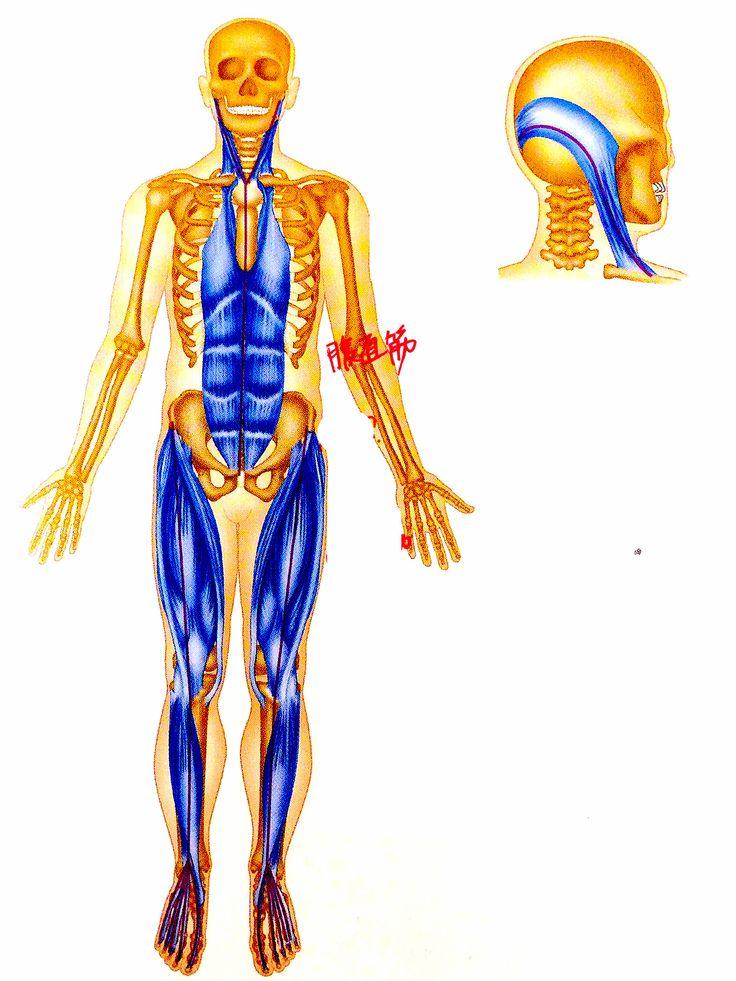 11 besten Anatomy Bilder auf Pinterest | Menschliche anatomie ...