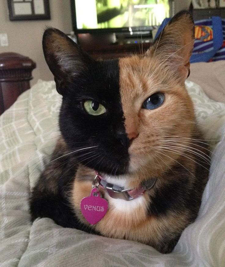 This five-year old tortoiseshell cat not only has two different coloured eyes, but also has two starkly different fur colours split exactly down the middle of her face. Read the full article here: http://bit.ly/1qoqgTH