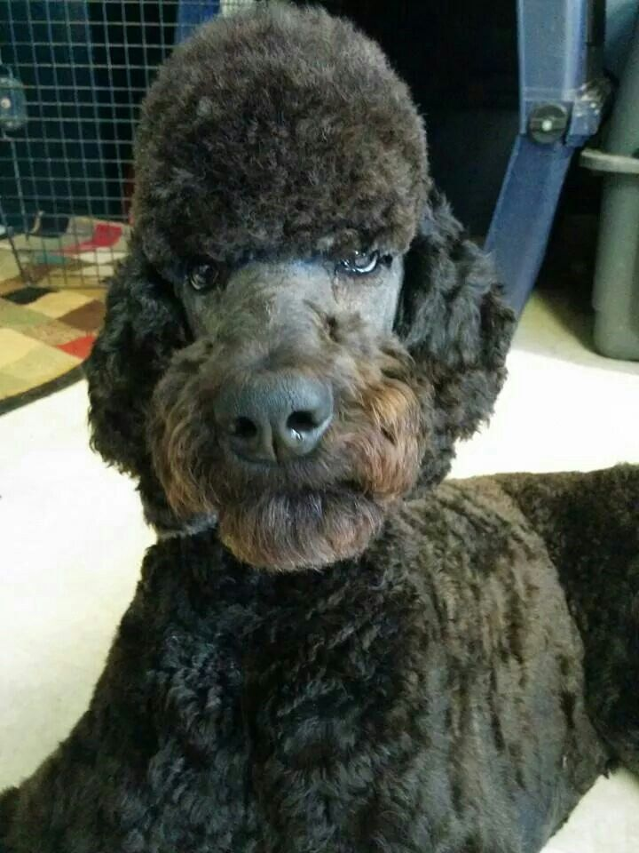 52 Best Manly Standard Poodle Cuts Images On Pinterest