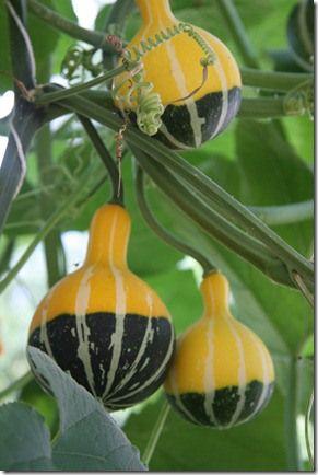 Bi-color Stripped Pear Gourds