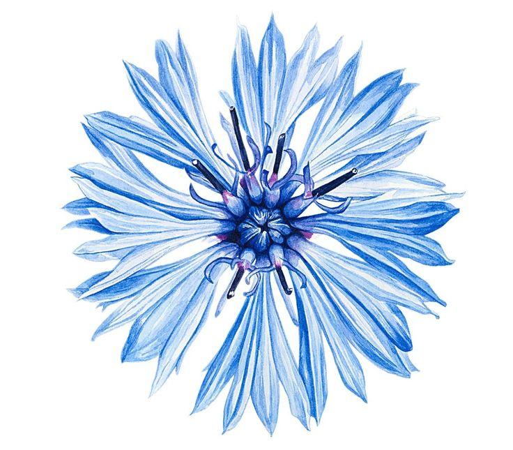 Про любовь, открытки цветка василек