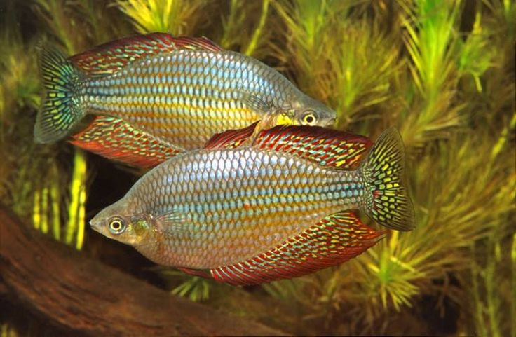 178 best images about rainbowfish of australia and new for Rainbow fish species