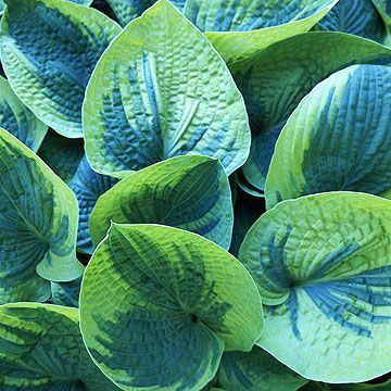 HostaHosta  Hostas have showy leaves that are variegated, puckered, or ruffled and vary from oval to oblong, and narrow to wide. Some hosta flowers are very fragrant. For the most part, hostas are carefree plants.