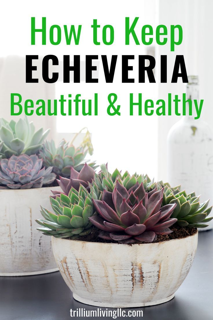Echeveria Care How To Keep Them Beautiful And Healthy Echeveria
