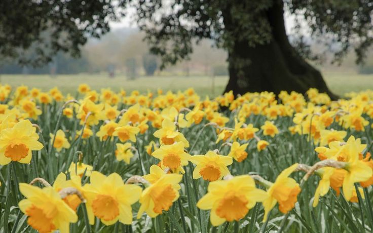 The best places to see daffodils across the UK this year