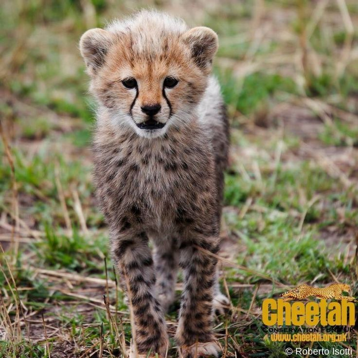CCF Cheetah UK (@CCFCheetahUK) | Twitter