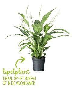 Mooie grote planten in huis. En ook nog eens luchtzuiverend!  Luchtzuiverende planten voor schone lucht in huis – Intratuin