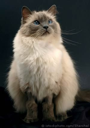 This little ragdoll looks just like Blondie, only she has white mittens and this one doesn't.