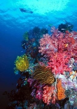 ReefStudy.com - Coral Reef, SPS Corals, Hawaii, Clownfish