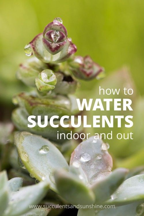 How to water succulents indoor and out