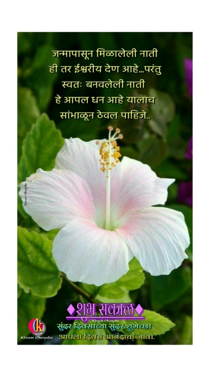 Pin By Kiran Chopde On Marathi Good Morning Quotes In 2020 Hibiscus Plant Growing Hibiscus Hybrid Tea Roses