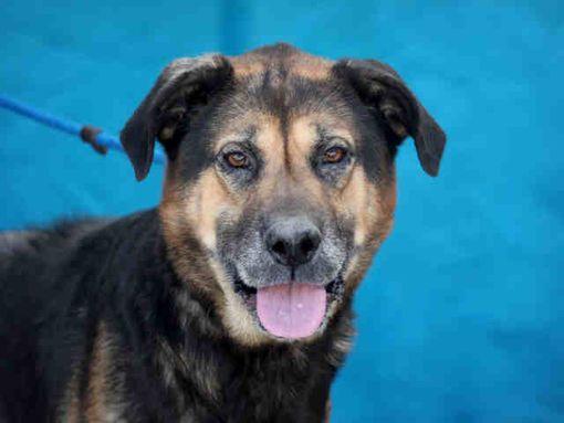 Downey Ca German Shepherd Dog Meet Oso A Pet For Adoption