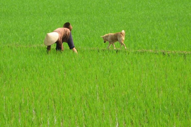 Rice padi, Northern Vietnam, 2007 #greatwalker