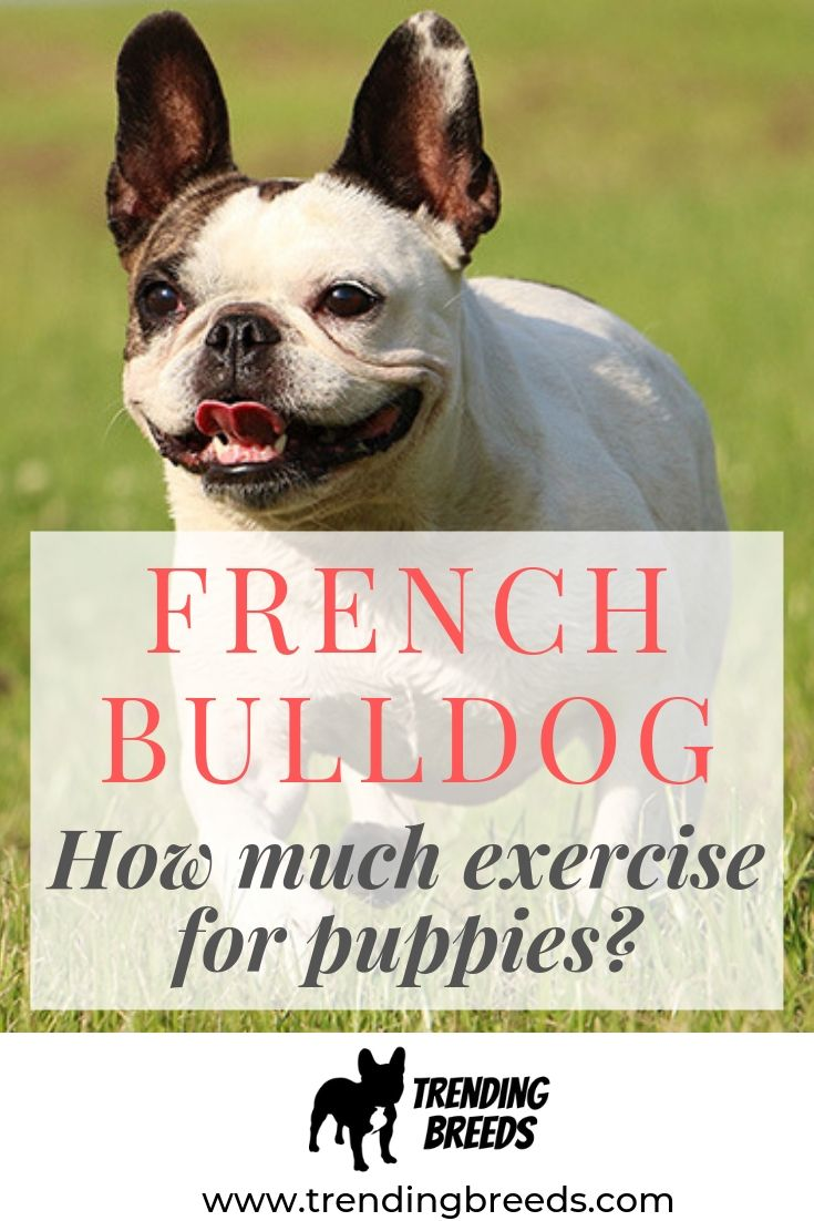 French bulldog exercise for puppies french bulldog