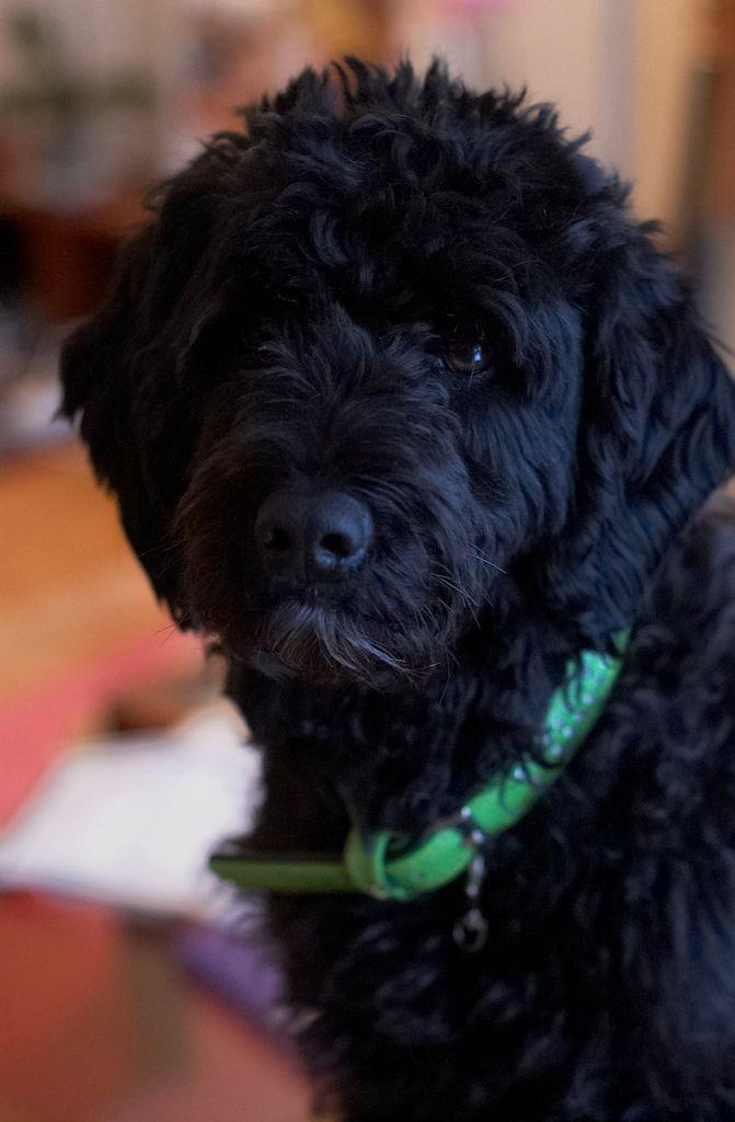 hi, I'm an adorable portuguese water dog...take me for a walk?