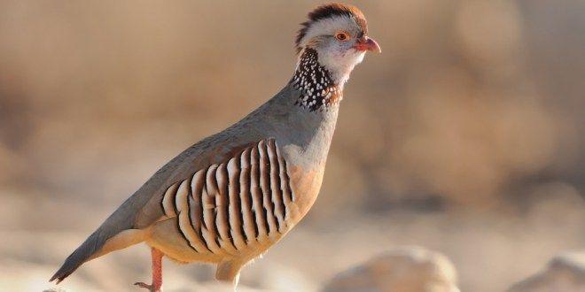 الحجل البربري أو شنار مغربي كل ماتود ان تعرفه حول هذا الطائر طيور العرب Animals Birds Bird