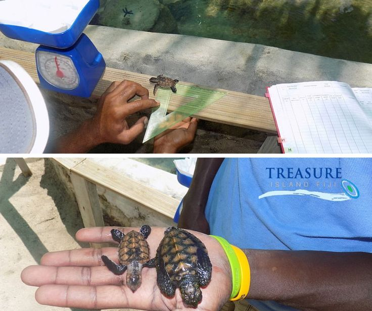 We know you love to see and read about our turtles, so check out the latest pics and the growth spurt!